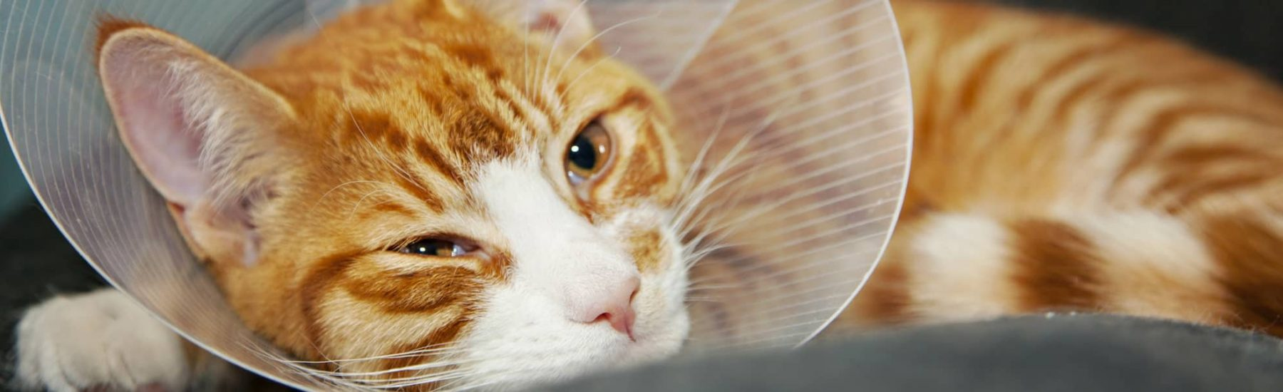 Ginger Cat with Head Cone