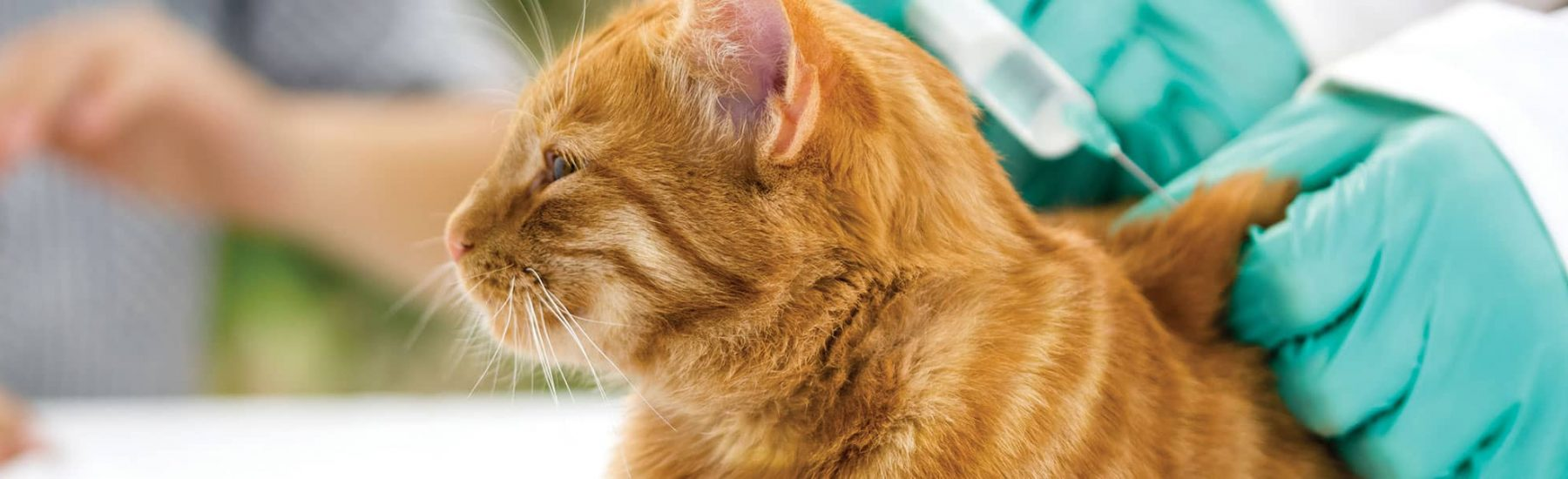 Ginger cat getting a vaccination shot