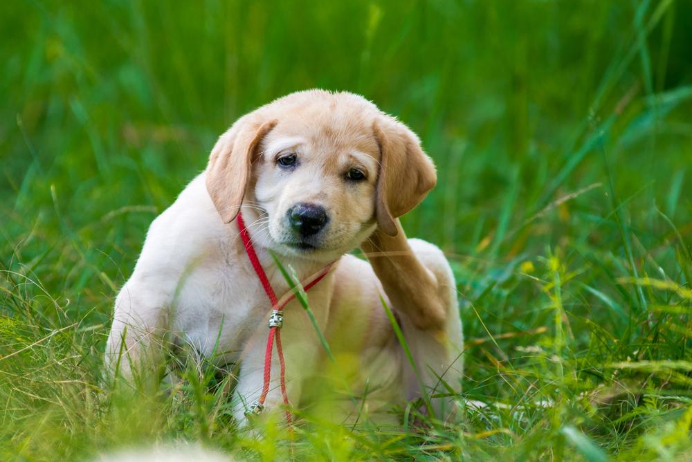 Golden Retriever Puppy Scratching Behind Ear