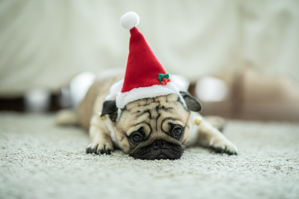 Sad Puppy with Santa Hat on