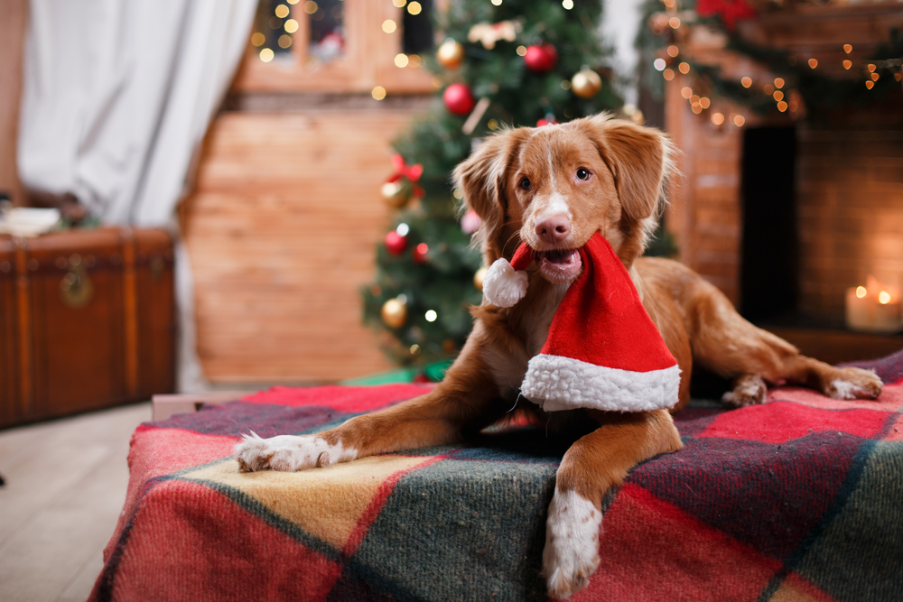 Brown Dog in front of a Christmas Tree