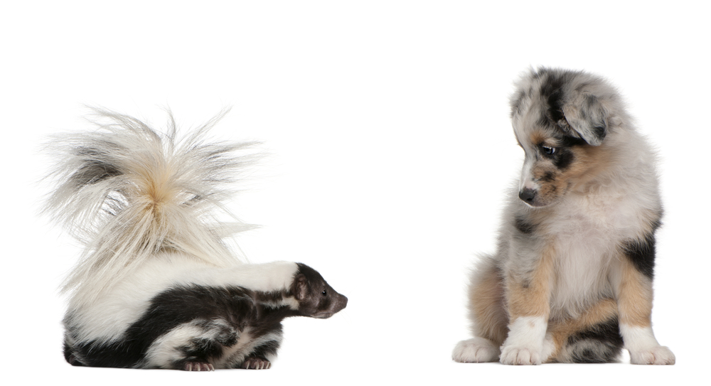 Puppy looking at a skunk